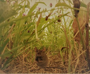 Mouse In The Gras Jungle